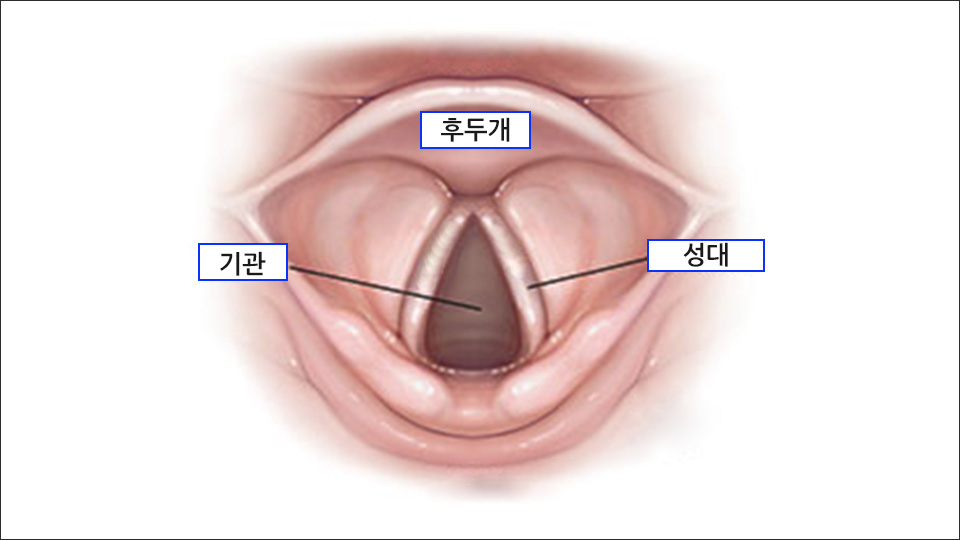 정상적인 성대의 해부학적 구조